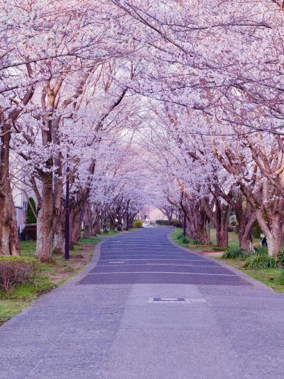 2019年 春へ続く桜のトンネル🌸