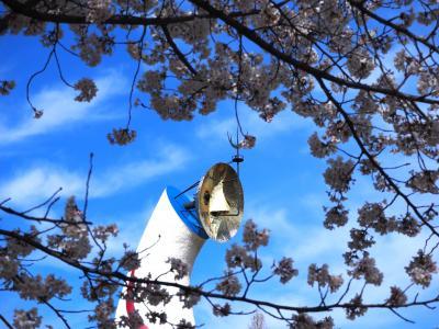 万博公園の桜は満開です