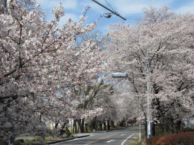 鶴ヶ島日光街道往還の桜並木とブロンコビリーのハンバーグ 2019/4/5