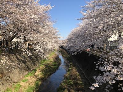 桜と梨の桜咲く  東京都稲城市三沢川 Tiamでらんち