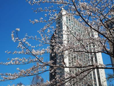 朝散歩 桜坂の桜