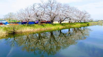 1.8kmの桜並木★福岡堰
