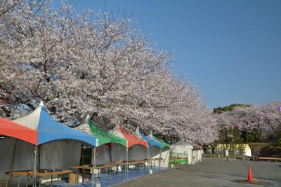 東京散歩 飛鳥山公園の桜は満開です。