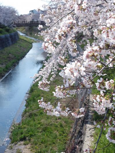 山崎川のサクラを見て来ました。満開でした。