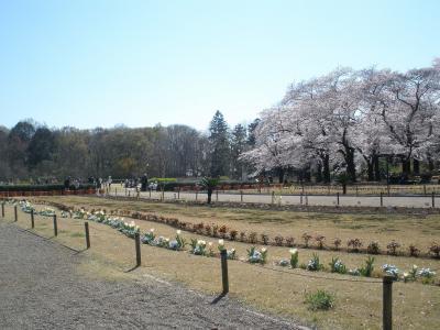 750本の桜が咲き誇る神代植物公園で桜や薔薇のアイスと薔薇のジュース・饅頭・羊羹を発見