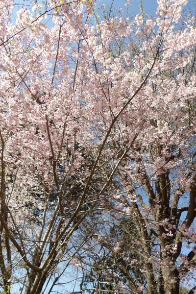 上野公園の桜(マイヒメ(舞姫))-2019年