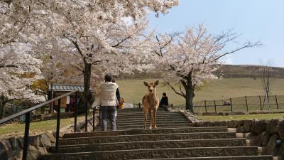 奈良公園周辺 桜と鹿さんを訪ねて
