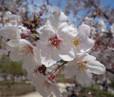 東山植物園で桜の花見。ここの桜はよく手入れがされていていいですね。
