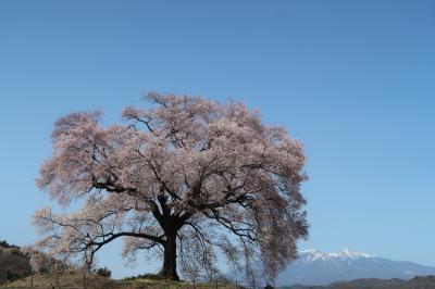 韮崎・武田の里の桜(と甲府信玄公祭り)