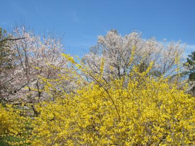 京都と静岡の桜は満開!
