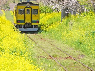 菜の花と桜に囲まれて、撮り鉄の旅。~いすみ鉄道&小湊鉄道~