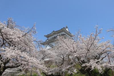 小田原城の満開のさくら
