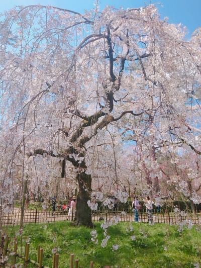 京都、桜めぐり