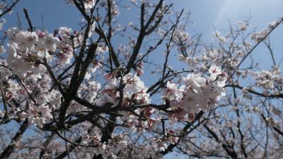 常願寺川公園の桜