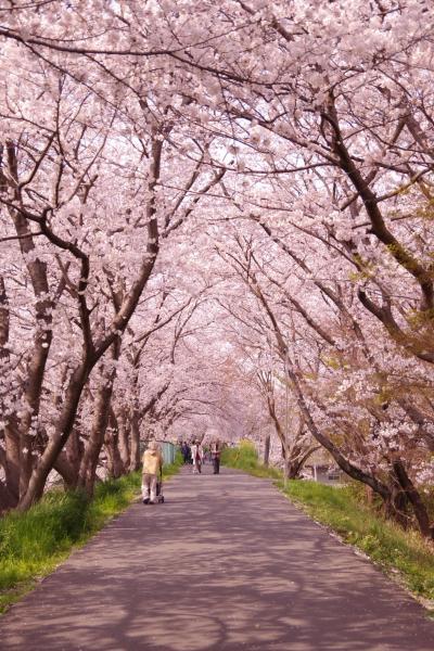 平成最後の桜鑑賞@秘密の桜のトンネル 2019.4.6
