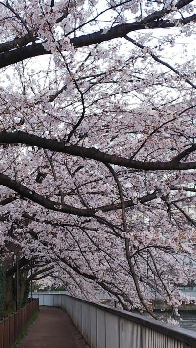 会社帰りに桜をくぐる門前仲町、月島もんじゃ。