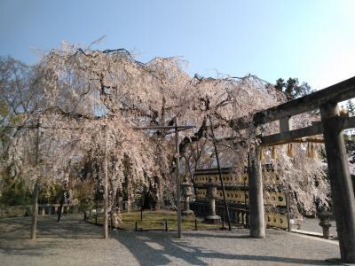 「醍醐・山科」京都の満開の桜を自転車で巡る旅
