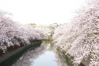 大岡川の桜満開です