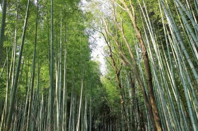 早朝、渡月橋から竹林の道を歩き、トロッコ列車に乗って保津川下りを楽しむ日帰り旅