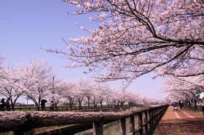 ☆桜ネックレス 2019 もうすぐ満開編 須ヶ谷川 桜堤 <愛知県>