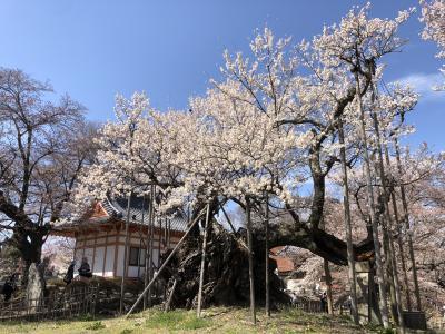 日本3大桜の山高神代桜と甲府へ1日目