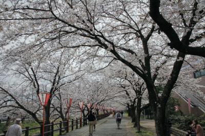 大和高田市の高田千本桜