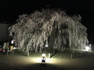 樹齢約450年の枝垂れ桜を