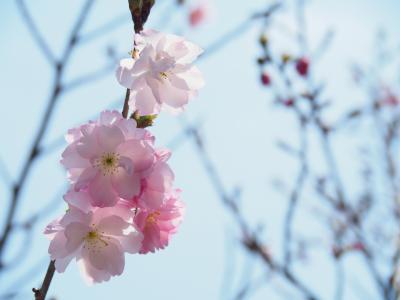 山桜を愛でる武田尾廃線walk