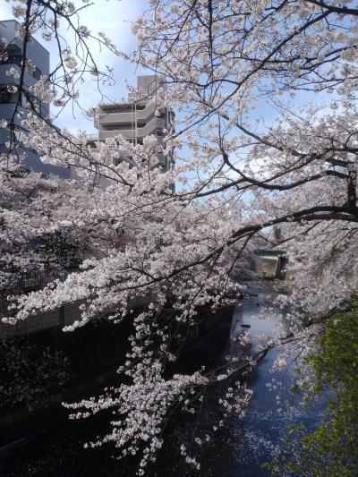 椿山荘で桜三昧