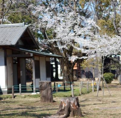 満開の桜  IN  若草公園