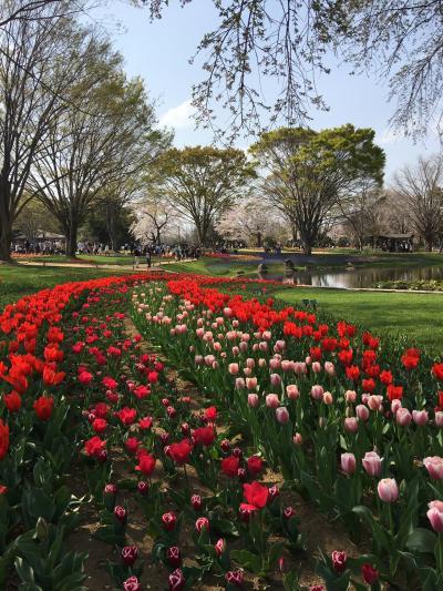春のお散歩 昭和記念公園 チューリップ H31.4.6