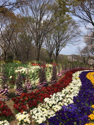 春のお散歩 小金井公園と玉川上水緑道 H31.4.7