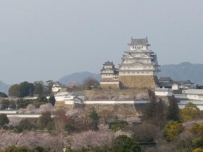 姫路城と桜、とてもイイです。