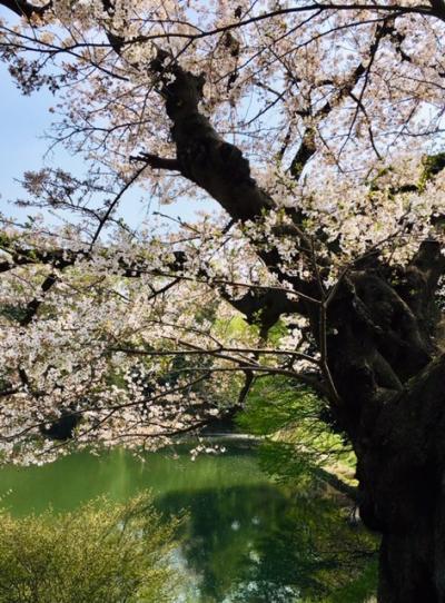 横浜市鶴見区の「三ツ池公園」、散りゆく満開の桜を楽しみました