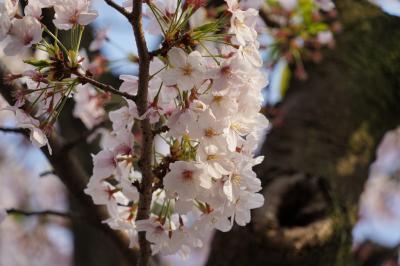 20190407-2 北砂 仙台堀川公園のソメイヨシノは、最後の見頃かな