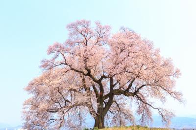 春は桃と桜を楽しみに~笛吹市花鳥山・わに塚の桜~