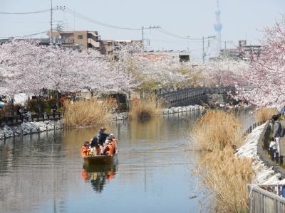 2019年春も新川千本桜を船上から眺め、川沿いの満開の桜を満喫しました