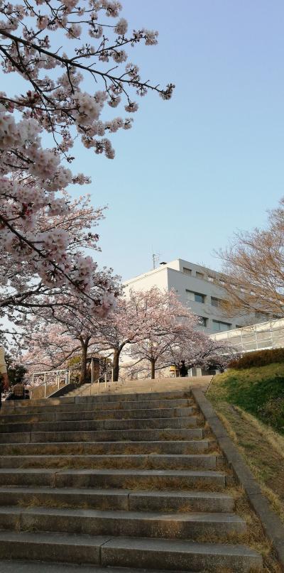利根町役場辺りの桜