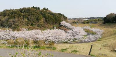 しもふさ運動公園の桜