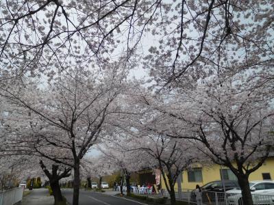 長瀞2019桜 【1】法善寺&北桜通り