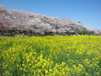 '19 埼玉 権現堂の満開の桜と菜の花 ~昼編~