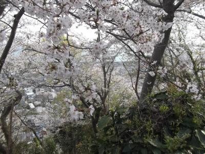 野田山から御殿山で花見