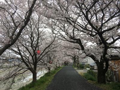 岡山☆井原堤の桜のトンネル