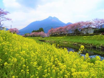 湯布院・大分川沿いの桜並木 一度は見たい桜スポットに行ってきました。