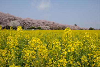 幸手権現堂桜堤のリベンジの菜の花と桜の共演