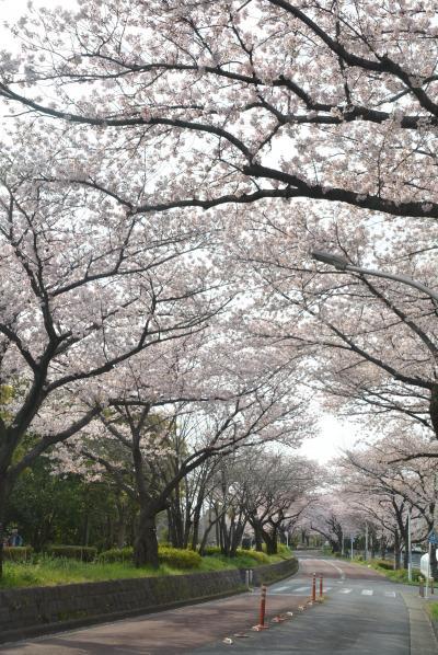 東京散歩 金町駅から水元公園桜並木を歩く