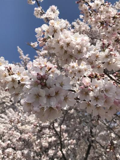 2019 お花見三昧 熊谷~上野~隅田川・川越