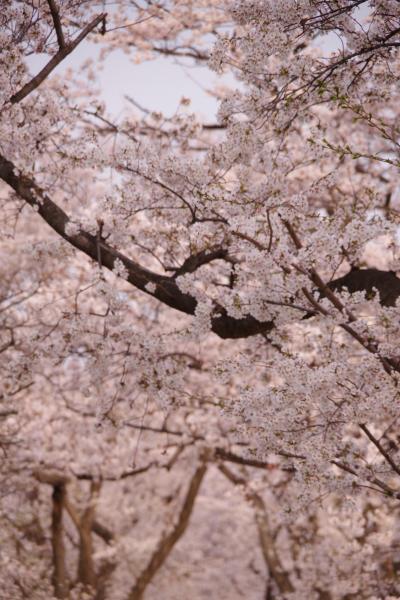 平成最後の桜鑑賞@淀川河川公園背割提地区の桜 2019.4.7