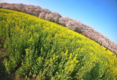 春は あけぼの/夜明けの千本桜【幸手 権現堂桜堤2019】