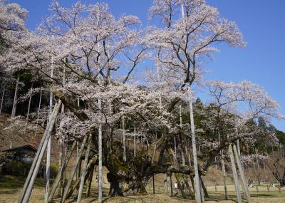 2019.4 満開の桜を訪ねて~尾谷淡墨桜と谷汲山華厳寺